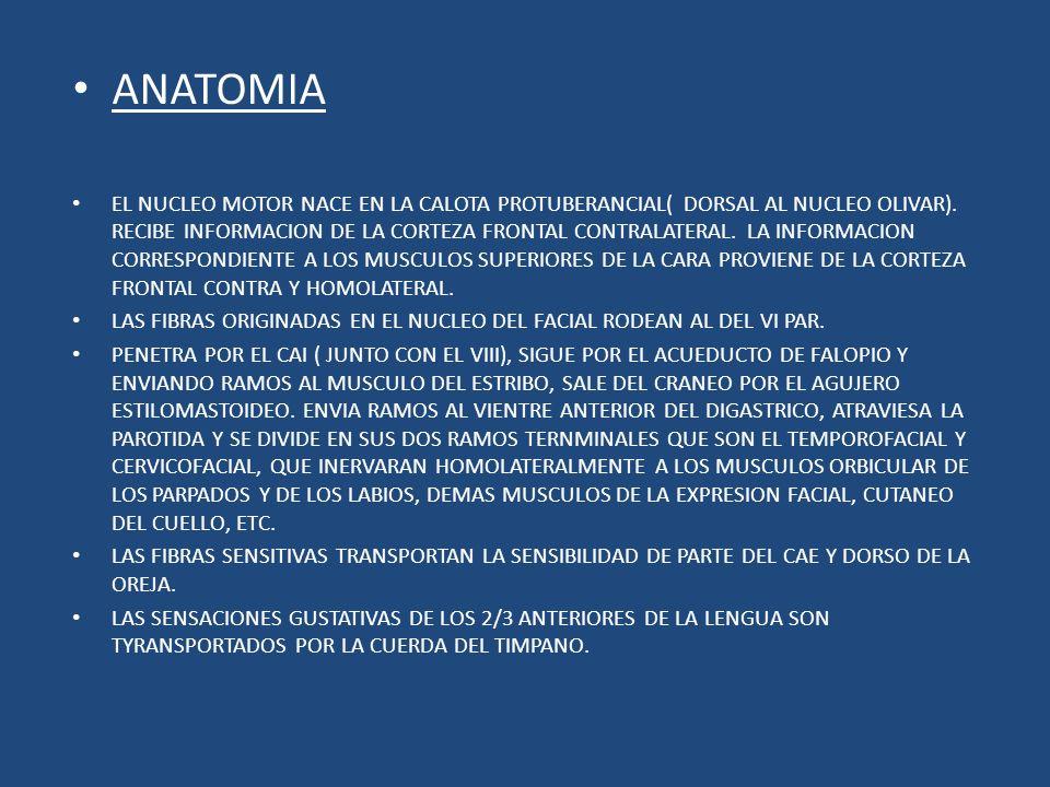 ANATOMIA EL NUCLEO MOTOR NACE EN LA CALOTA PROTUBERANCIAL( DORSAL AL NUCLEO OLIVAR). RECIBE INFORMACION DE LA CORTEZA FRONTAL CONTRALATERAL. LA INFORM