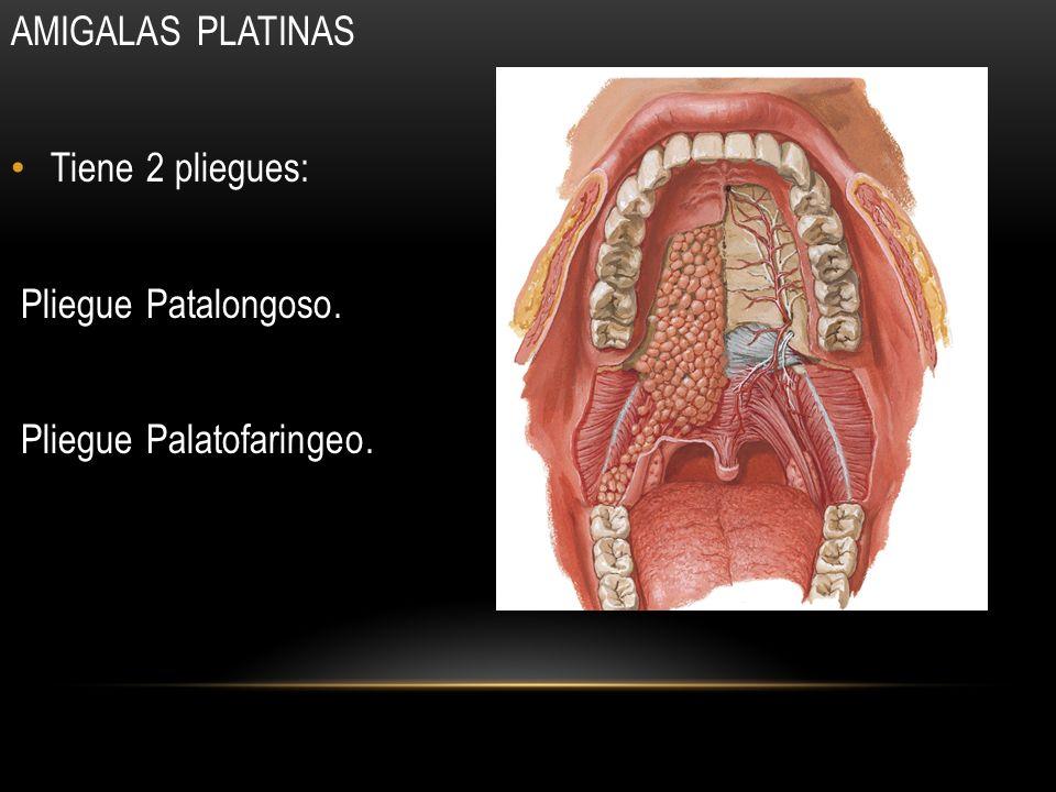 AMIGALAS PLATINAS Tiene 2 pliegues: Pliegue Patalongoso. Pliegue Palatofaringeo.