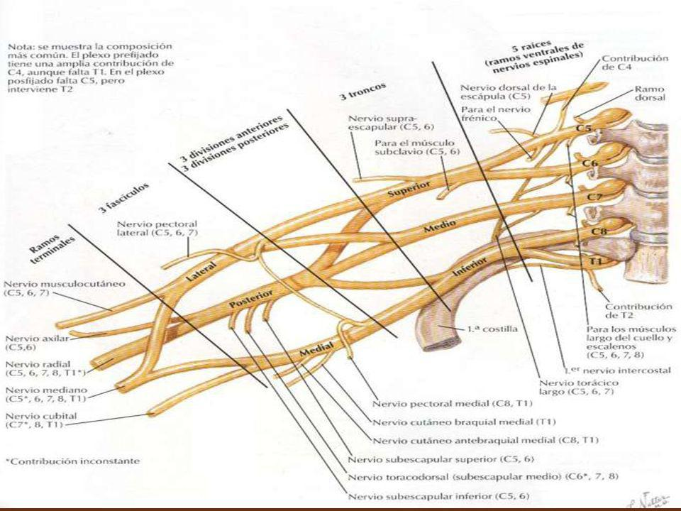 Plexo lumbosacro Las raíces lumbosacras parten de los segmentos medulares correspondientes, siendo la raíz anterior la motora, y la posterior la sensitiva.