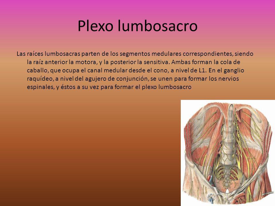 Plexo lumbar Ubicación: Se ubica en el espesor del psoas mayor, por delante de los procesos transversos de las lumbares.