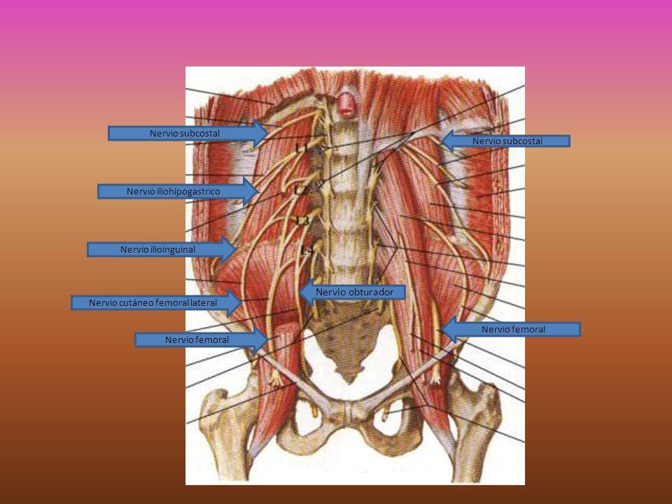 Plexo sacro Ubicación: Se ubica en relación al músculo piramidal.
