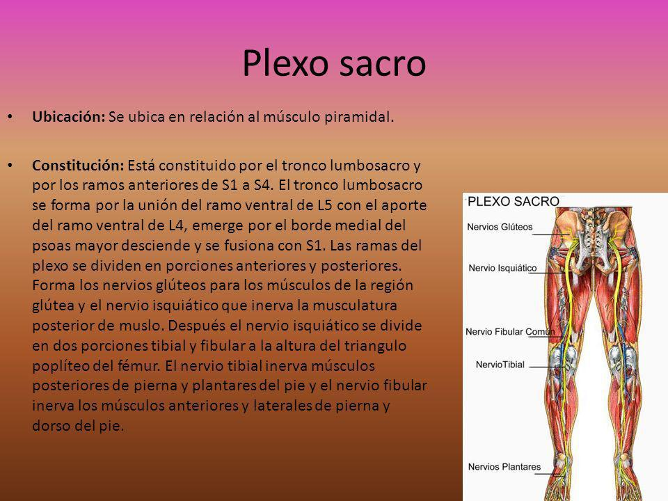 Plexo sacro Ubicación: Se ubica en relación al músculo piramidal. Constitución: Está constituido por el tronco lumbosacro y por los ramos anteriores d