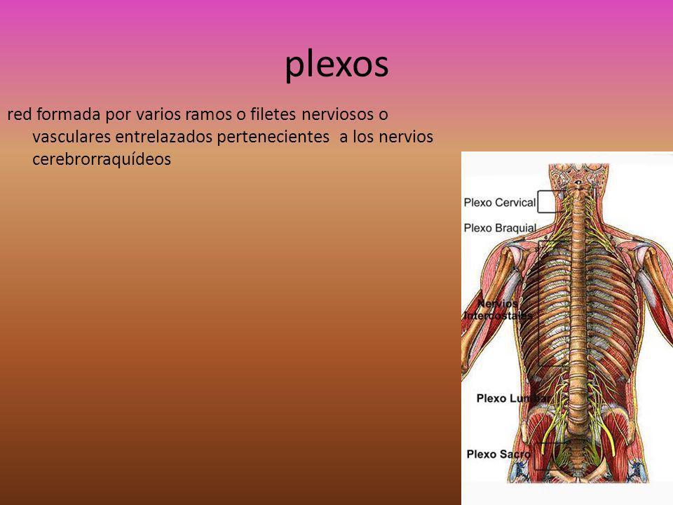 Plexo cervical Ubicación anatómica: situado entre los músculos prevertebrales, por dentro, y las inserciones del esplenio y elevador de la escápula por fuera.