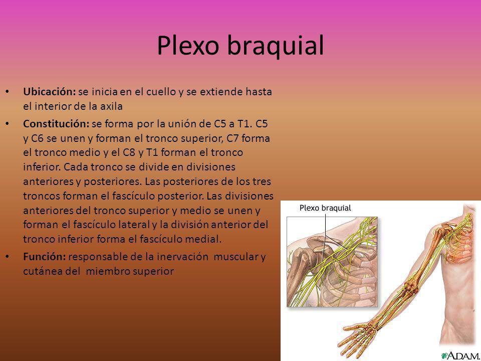 La clavícula va a dividir al plexo braquial en una porción supraclavicular y una infraclavicular.