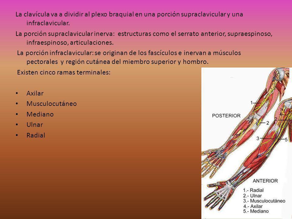 Axilar: inerva a deltoides y teres menor y la piel de la región deltoidea y cara lateral superior del brazo.