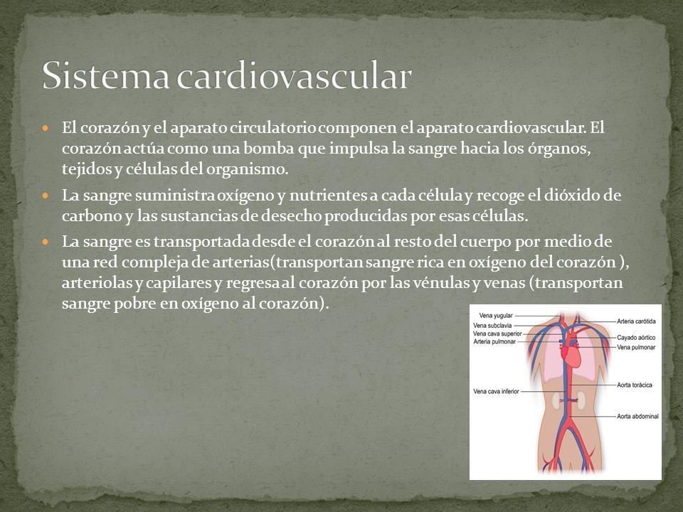 El corazón, situado en medio del tórax, es un órgano muscular formado por dos cavidades superiores, llamadas aurículas, y dos cavidades inferiores, llamadas ventrículos.