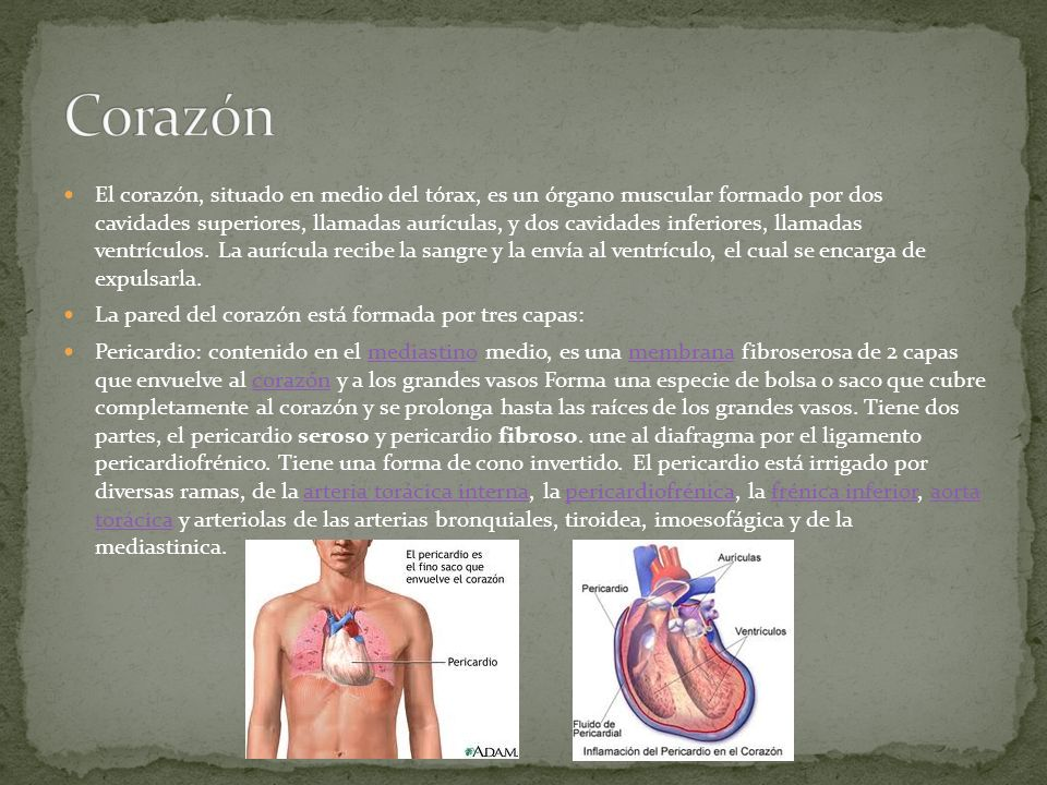 El corazón, situado en medio del tórax, es un órgano muscular formado por dos cavidades superiores, llamadas aurículas, y dos cavidades inferiores, ll