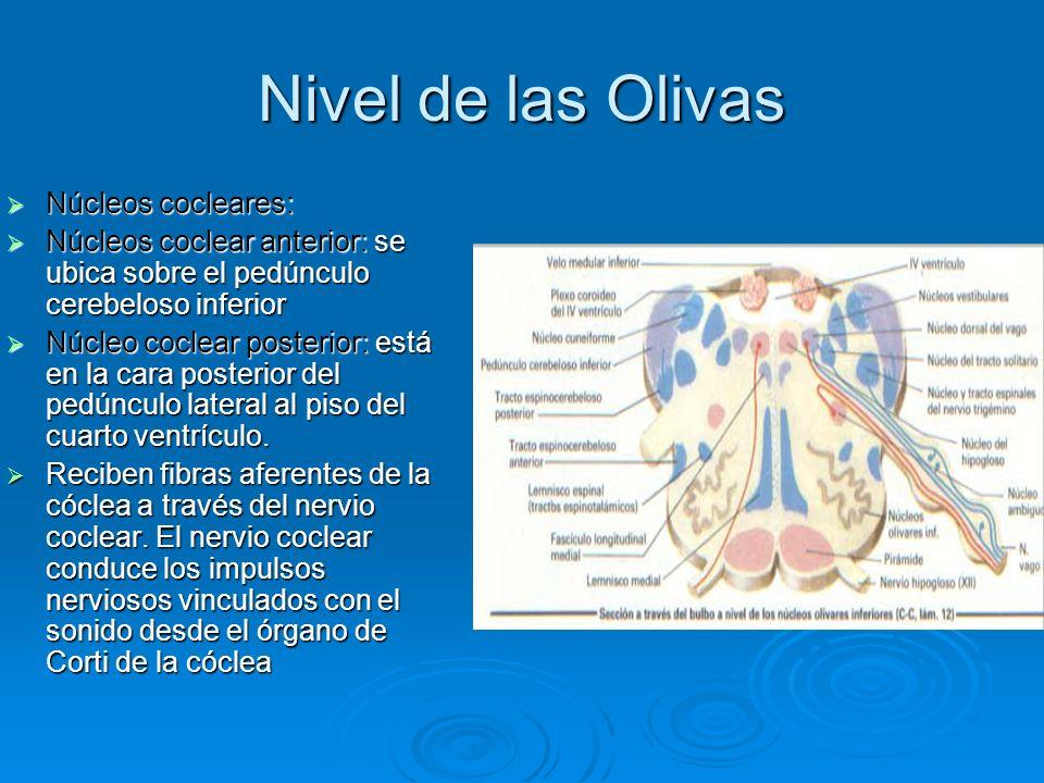 Nivel de las Olivas Núcleos cocleares: Núcleos cocleares: Núcleos coclear anterior: se ubica sobre el pedúnculo cerebeloso inferior Núcleos coclear an