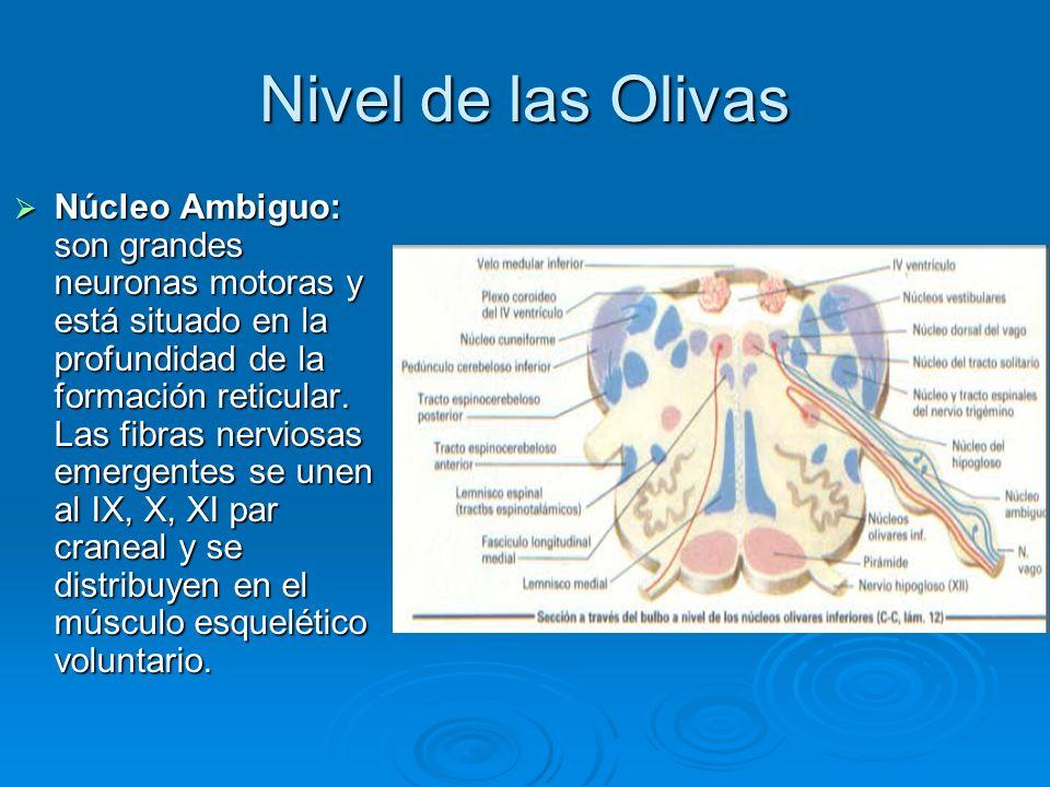 Nivel de las Olivas Núcleo Ambiguo: son grandes neuronas motoras y está situado en la profundidad de la formación reticular. Las fibras nerviosas emer
