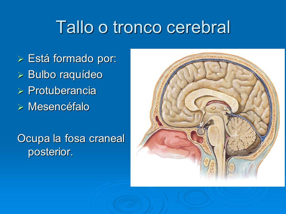 Tallo o tronco cerebral Está formado por: Está formado por: Bulbo raquídeo Bulbo raquídeo Protuberancia Protuberancia Mesencéfalo Mesencéfalo Ocupa la