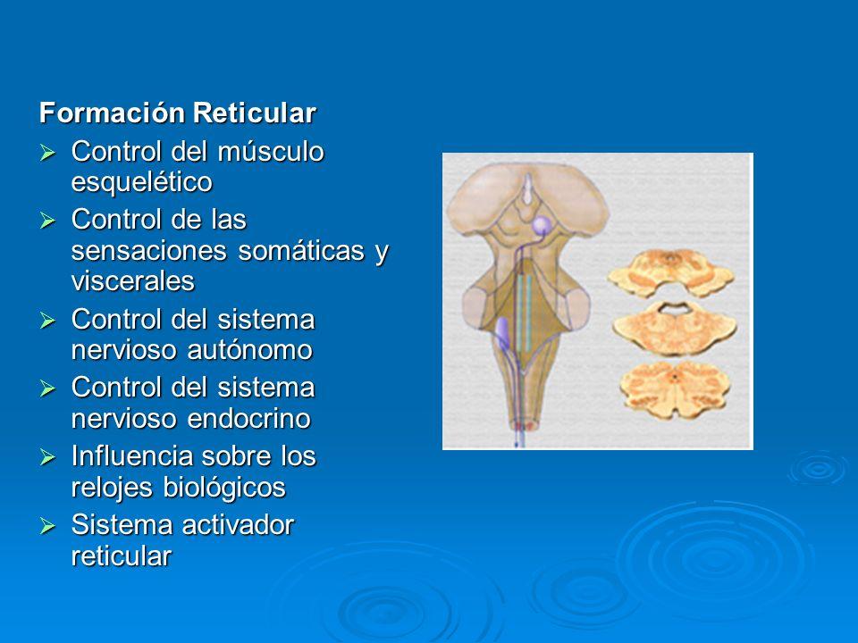Formación Reticular Control del músculo esquelético Control del músculo esquelético Control de las sensaciones somáticas y viscerales Control de las s