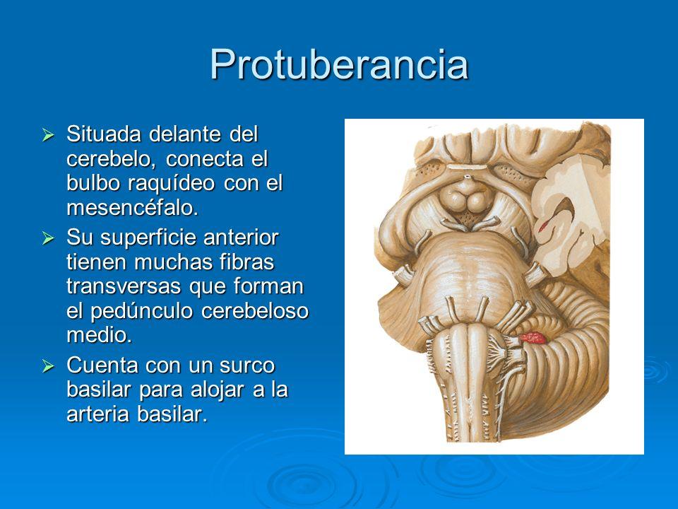 Protuberancia Situada delante del cerebelo, conecta el bulbo raquídeo con el mesencéfalo. Situada delante del cerebelo, conecta el bulbo raquídeo con