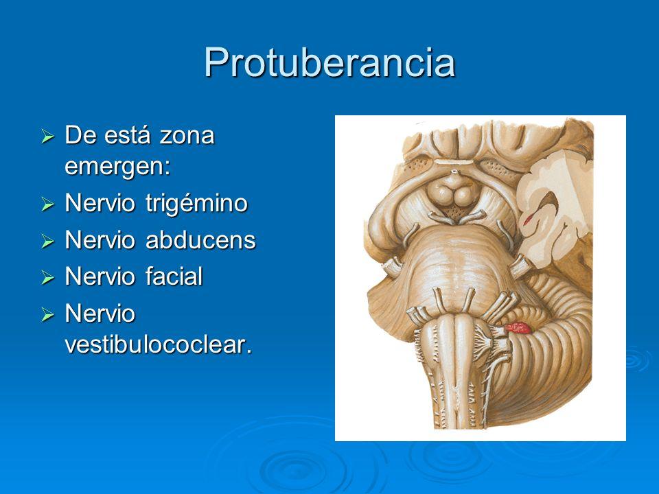 Protuberancia De está zona emergen: De está zona emergen: Nervio trigémino Nervio trigémino Nervio abducens Nervio abducens Nervio facial Nervio facia