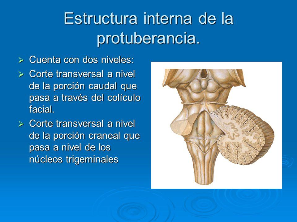 Estructura interna de la protuberancia. Cuenta con dos niveles: Cuenta con dos niveles: Corte transversal a nivel de la porción caudal que pasa a trav