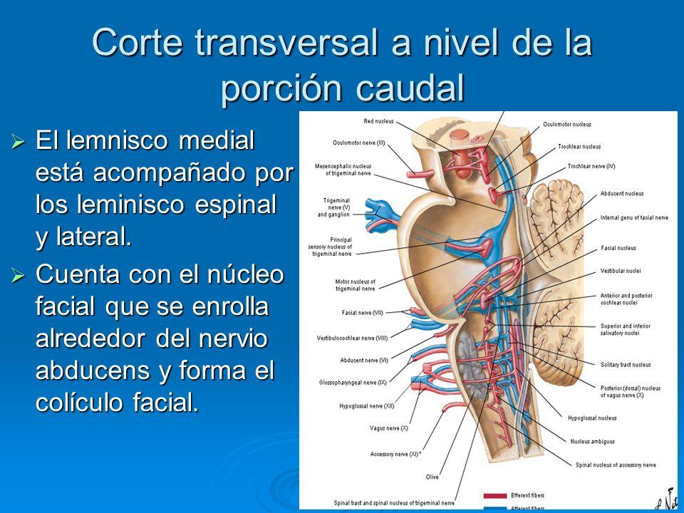 Corte transversal a nivel de la porción caudal El lemnisco medial está acompañado por los leminisco espinal y lateral. El lemnisco medial está acompañ