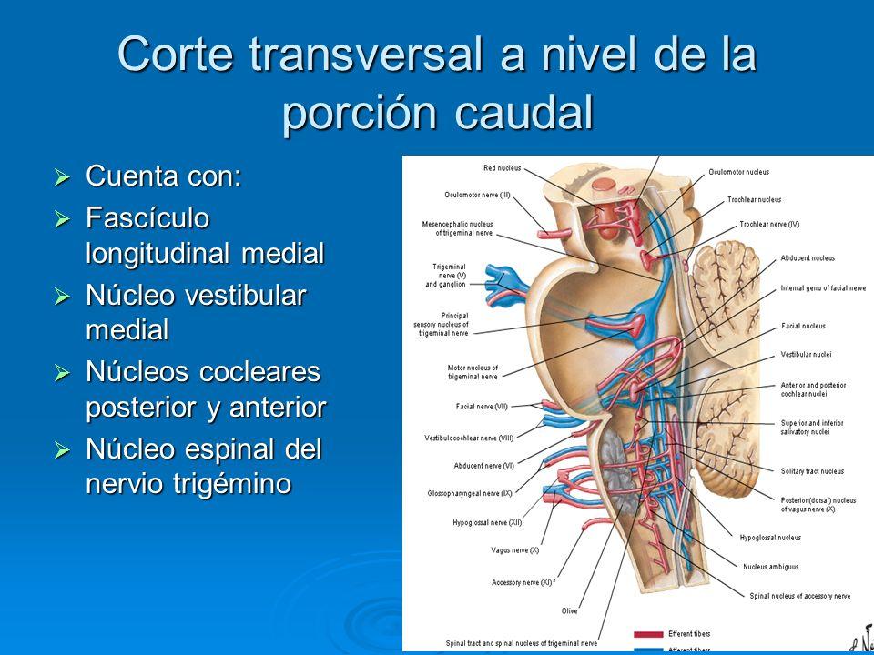 Corte transversal a nivel de la porción caudal Cuenta con: Cuenta con: Fascículo longitudinal medial Fascículo longitudinal medial Núcleo vestibular m