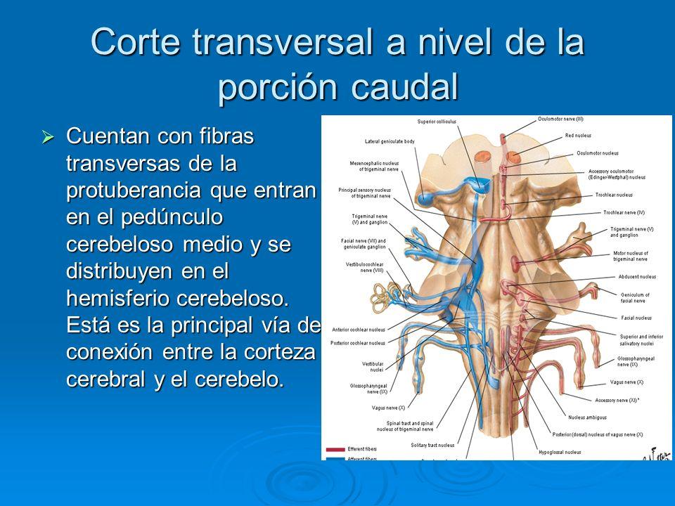 Corte transversal a nivel de la porción caudal Cuentan con fibras transversas de la protuberancia que entran en el pedúnculo cerebeloso medio y se dis