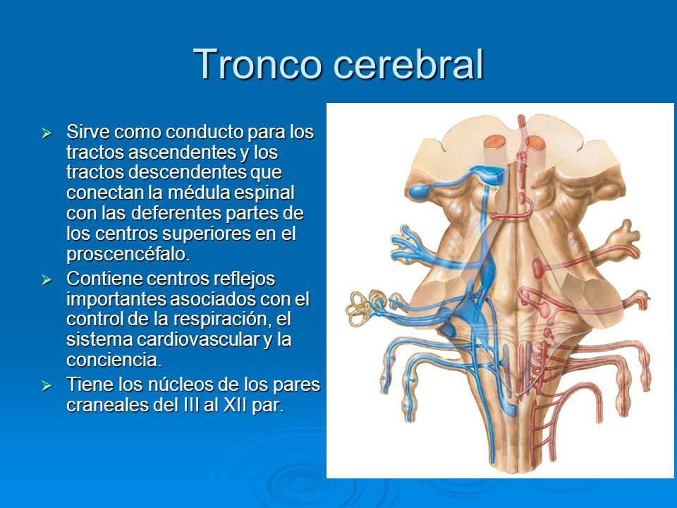 Tronco cerebral Sirve como conducto para los tractos ascendentes y los tractos descendentes que conectan la médula espinal con las deferentes partes d