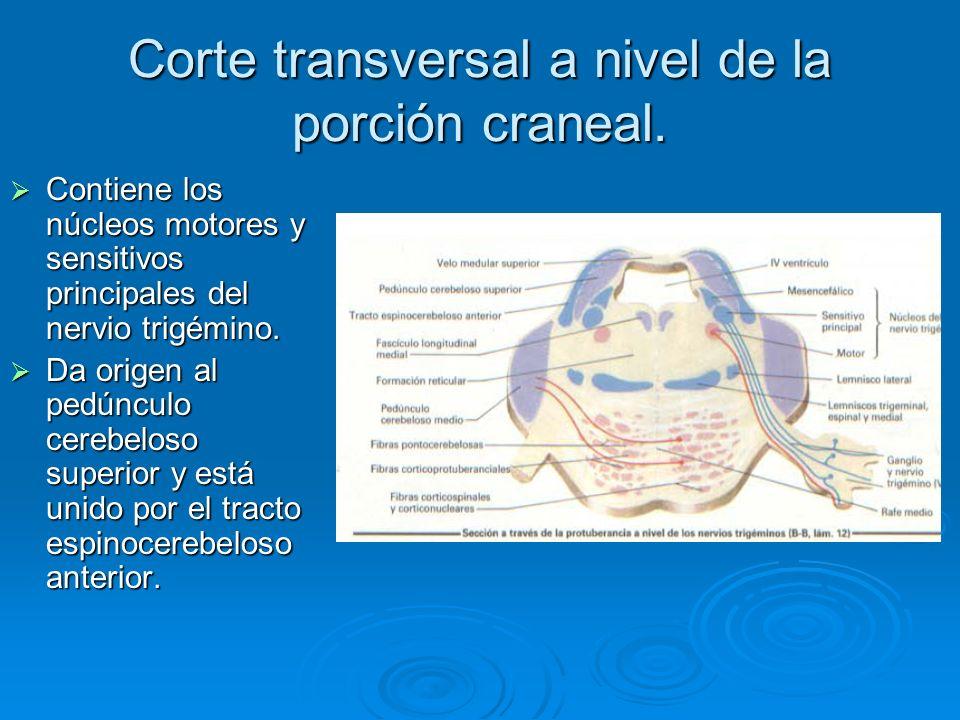 Corte transversal a nivel de la porción craneal. Contiene los núcleos motores y sensitivos principales del nervio trigémino. Contiene los núcleos moto