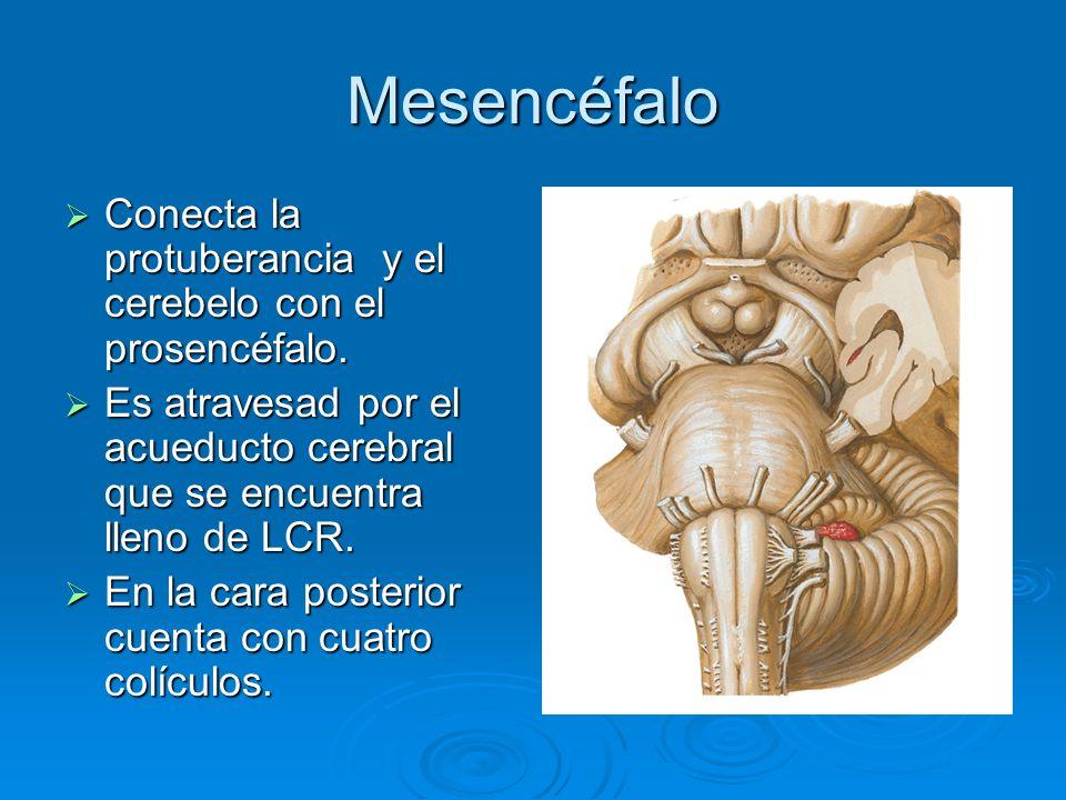 Mesencéfalo Conecta la protuberancia y el cerebelo con el prosencéfalo. Conecta la protuberancia y el cerebelo con el prosencéfalo. Es atravesad por e