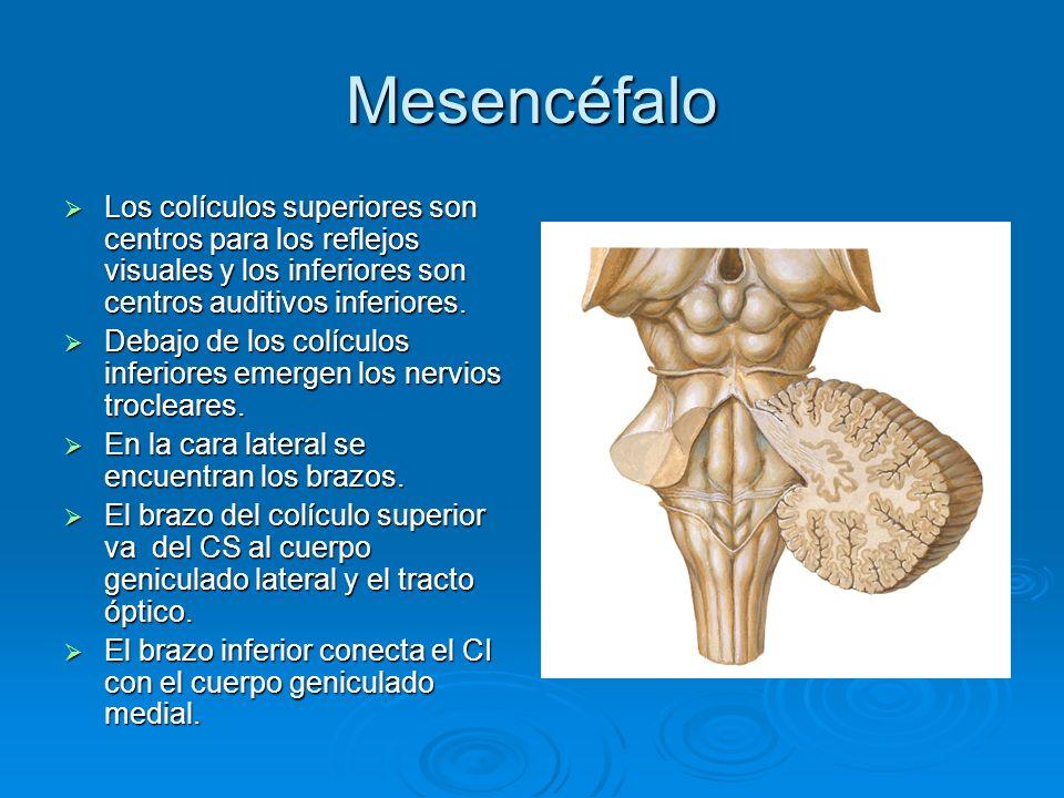 Mesencéfalo Los colículos superiores son centros para los reflejos visuales y los inferiores son centros auditivos inferiores. Los colículos superiore