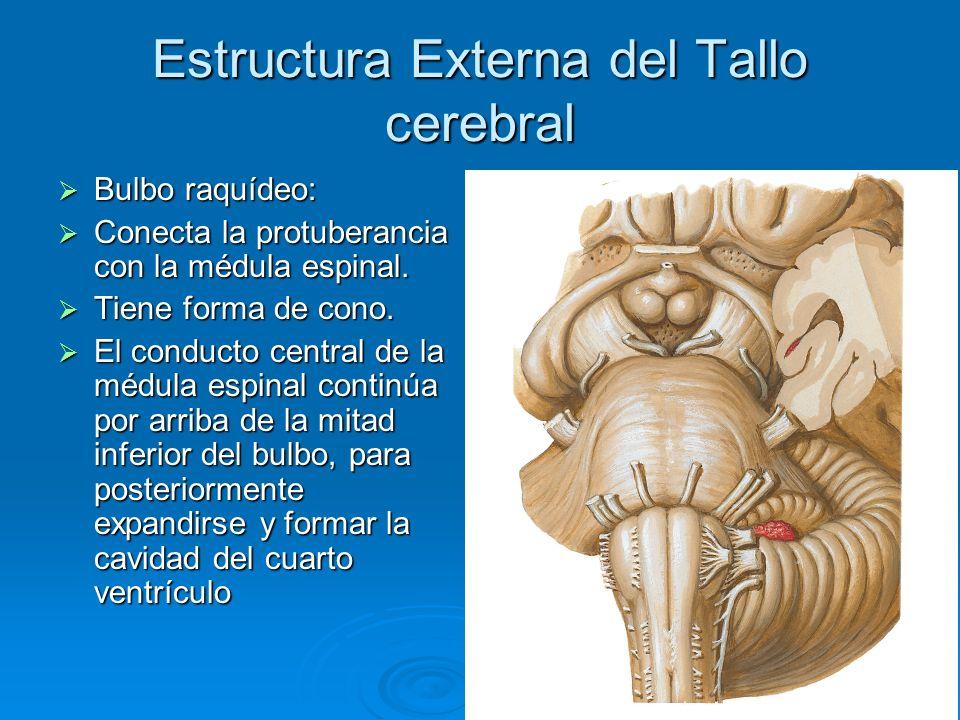 Estructura Externa del Tallo cerebral Bulbo raquídeo: Bulbo raquídeo: Conecta la protuberancia con la médula espinal. Conecta la protuberancia con la