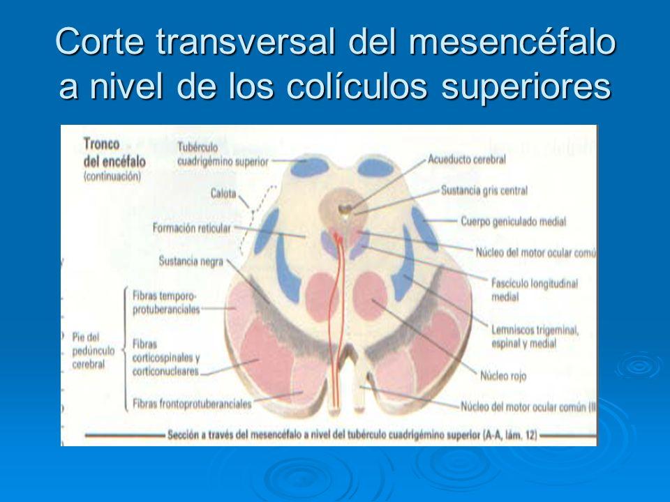 Corte transversal del mesencéfalo a nivel de los colículos superiores