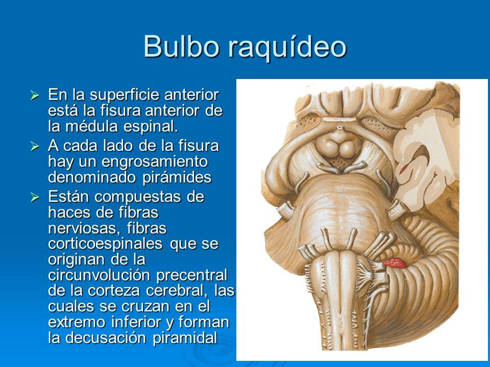 Bulbo raquídeo Fibras arcuatas externas anteriores: son fibras nerviosas que salen de la fisura media anterior por encima de la decusación y se dirigen hacia afuera del bulbo para entrar en el cerebelo.