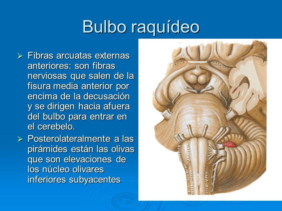 Bulbo raquídeo Detrás de las olivas se encuentran los pedúnculos cerebelosos inferiores que conectan el bulbo con el cerebelo.
