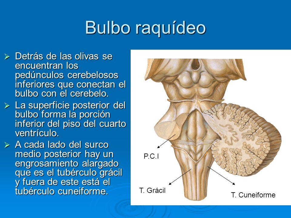 Bulbo raquídeo Detrás de las olivas se encuentran los pedúnculos cerebelosos inferiores que conectan el bulbo con el cerebelo. Detrás de las olivas se