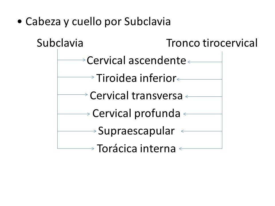Cabeza y cuello por Subclavia Subclavia Tronco tirocervical Cervical ascendente Tiroidea inferior Cervical transversa Cervical profunda Supraescapular Torácica interna