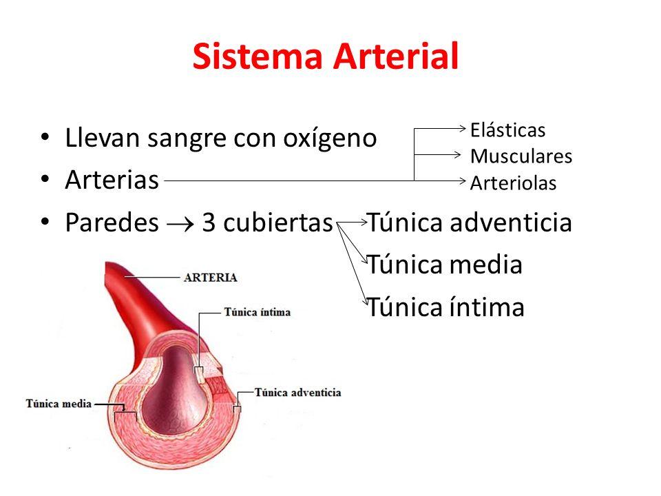 Sistema Arterial Llevan sangre con oxígeno Arterias Paredes 3 cubiertas Túnica adventicia Túnica media Túnica íntima Elásticas Musculares Arteriolas