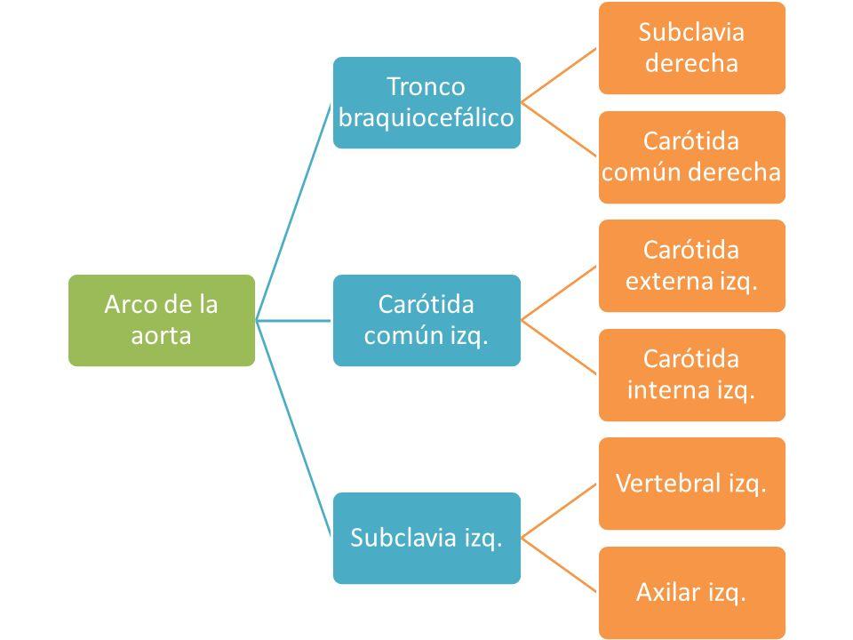 Arco de la aorta Tronco braquiocefálico Subclavia derecha Carótida común derecha Carótida común izq.