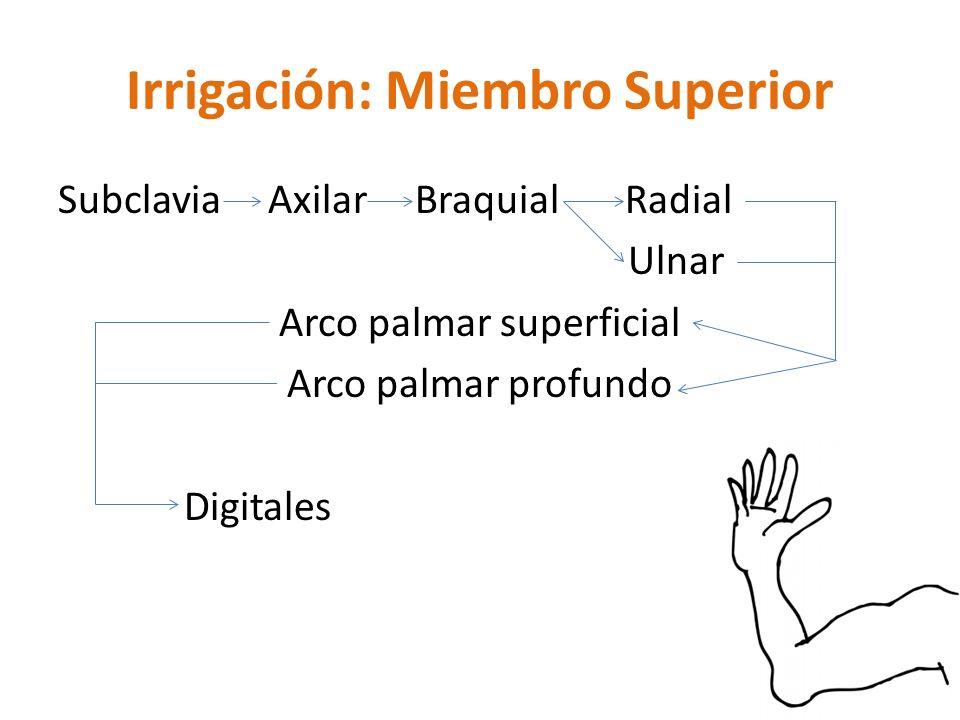 Irrigación: Miembro Superior Subclavia Axilar Braquial Radial Ulnar Arco palmar superficial Arco palmar profundo Digitales