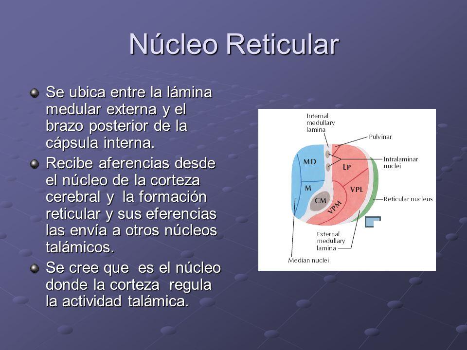 Núcleo Reticular Se ubica entre la lámina medular externa y el brazo posterior de la cápsula interna. Recibe aferencias desde el núcleo de la corteza