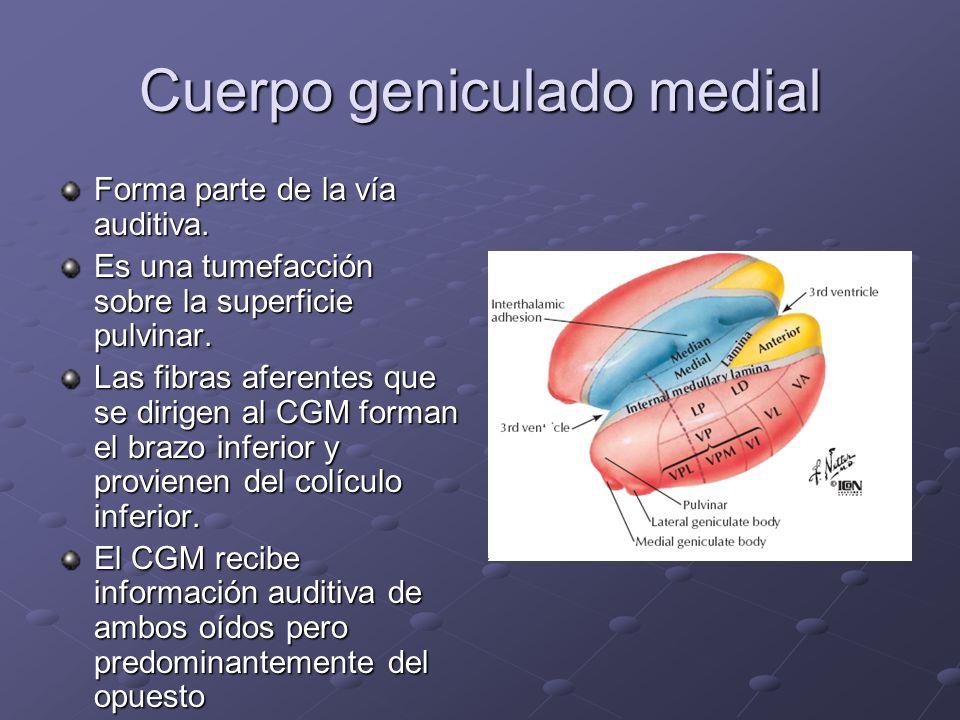 Cuerpo geniculado medial Forma parte de la vía auditiva. Es una tumefacción sobre la superficie pulvinar. Las fibras aferentes que se dirigen al CGM f