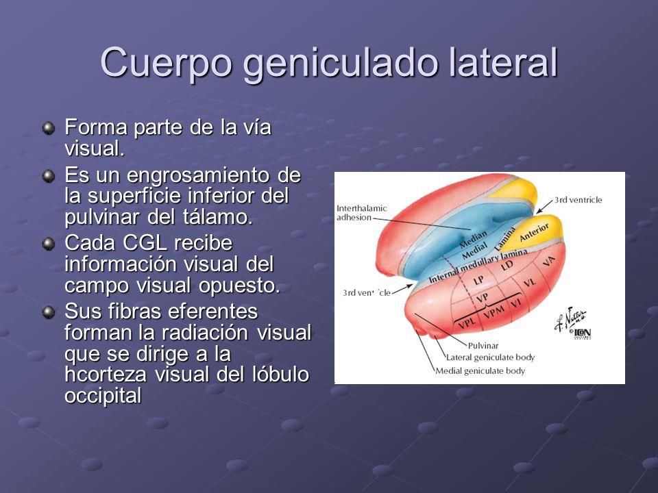 Cuerpo geniculado lateral Forma parte de la vía visual. Es un engrosamiento de la superficie inferior del pulvinar del tálamo. Cada CGL recibe informa