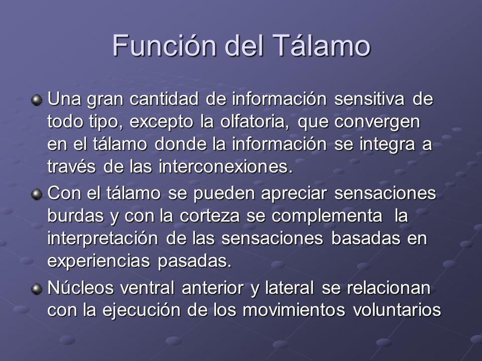 Función del Tálamo Una gran cantidad de información sensitiva de todo tipo, excepto la olfatoria, que convergen en el tálamo donde la información se i