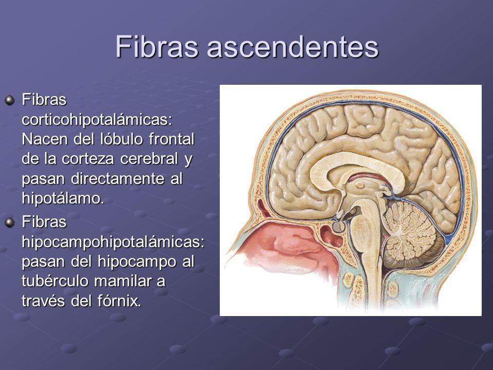 Fibras ascendentes Fibras corticohipotalámicas: Nacen del lóbulo frontal de la corteza cerebral y pasan directamente al hipotálamo. Fibras hipocampohi