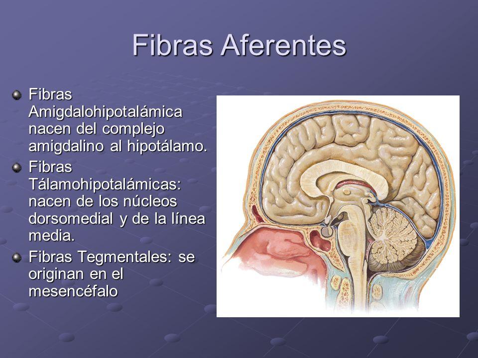Fibras Aferentes Fibras Amigdalohipotalámica nacen del complejo amigdalino al hipotálamo. Fibras Tálamohipotalámicas: nacen de los núcleos dorsomedial