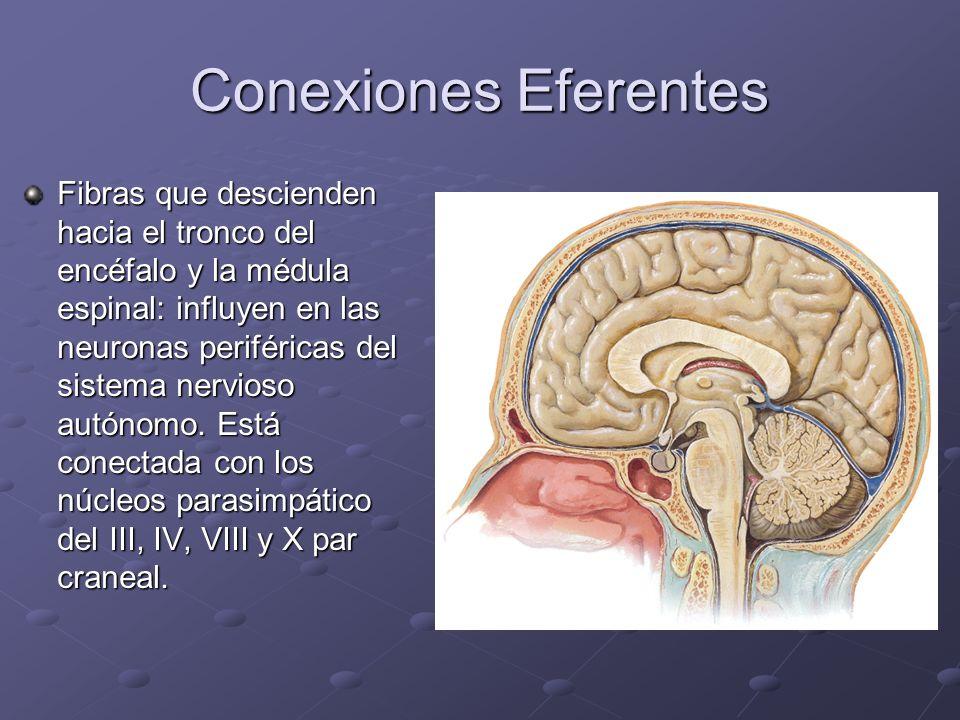 Conexiones Eferentes Fibras que descienden hacia el tronco del encéfalo y la médula espinal: influyen en las neuronas periféricas del sistema nervioso