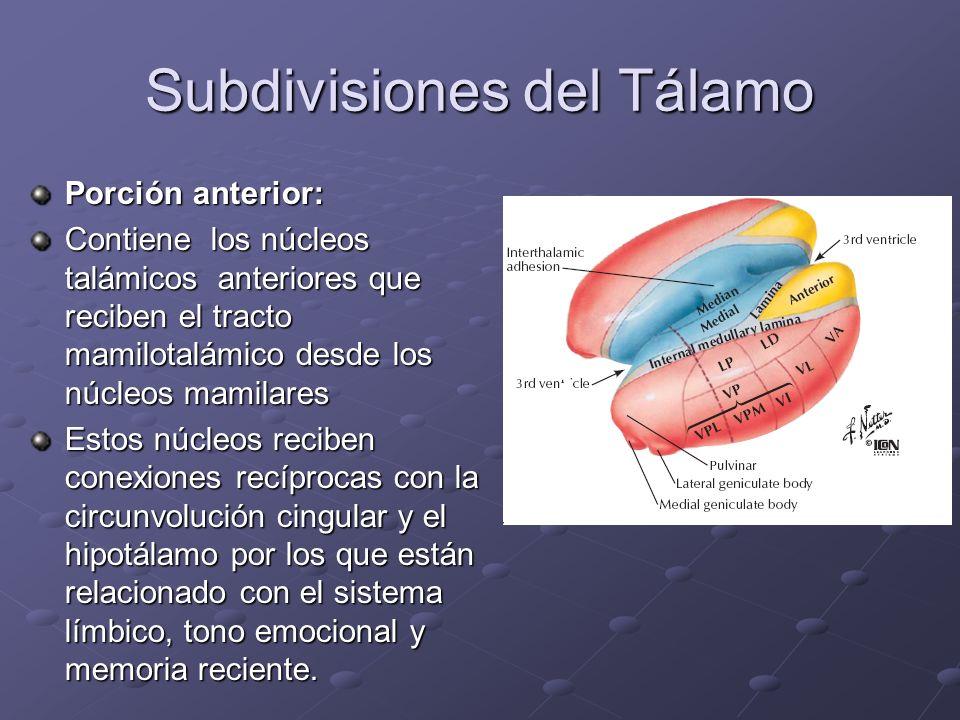 Subdivisiones del Tálamo Porción anterior: Contiene los núcleos talámicos anteriores que reciben el tracto mamilotalámico desde los núcleos mamilares