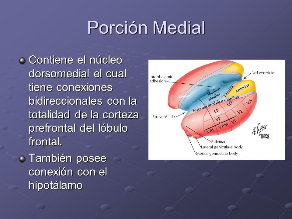Porción Medial Contiene el núcleo dorsomedial el cual tiene conexiones bidireccionales con la totalidad de la corteza prefrontal del lóbulo frontal. T