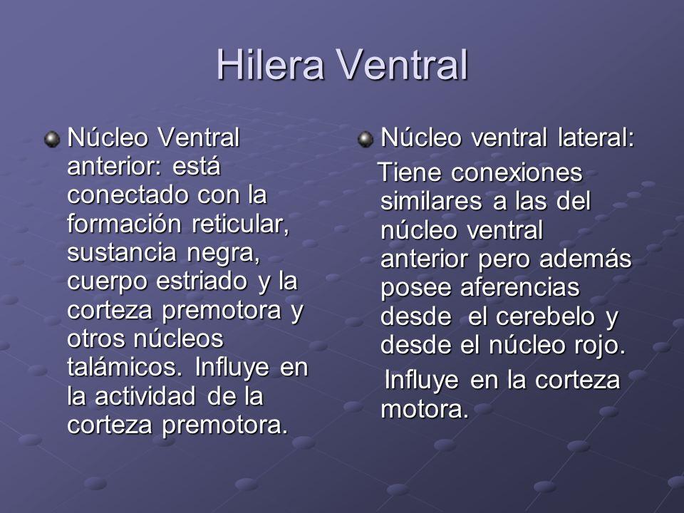 Hilera Ventral Núcleo Ventral anterior: está conectado con la formación reticular, sustancia negra, cuerpo estriado y la corteza premotora y otros núc