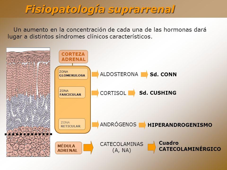 Fisiopatología suprarrenal MÉDULA ADRENAL CATECOLAMINAS (A, NA) Cuadro CATECOLAMINÉRGICO ALDOSTERONA CORTISOL ANDRÓGENOS Sd. CONN Sd. CUSHING HIPERAND