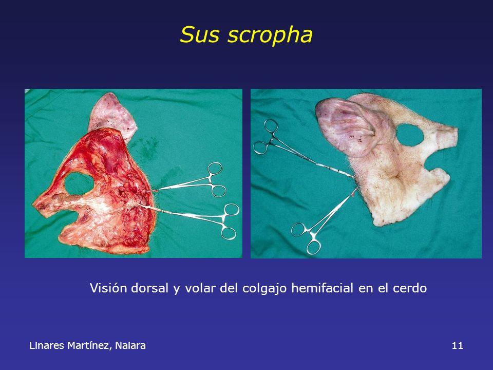 Linares Martínez, Naiara11 Sus scropha Visión dorsal y volar del colgajo hemifacial en el cerdo
