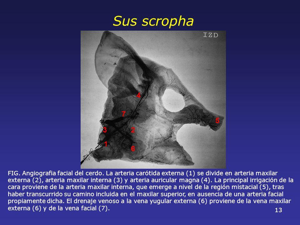 13 FIG. Angiografia facial del cerdo. La arteria carótida externa (1) se divide en arteria maxilar externa (2), arteria maxilar interna (3) y arteria