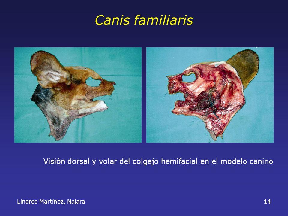 Linares Martínez, Naiara14 Canis familiaris Visión dorsal y volar del colgajo hemifacial en el modelo canino