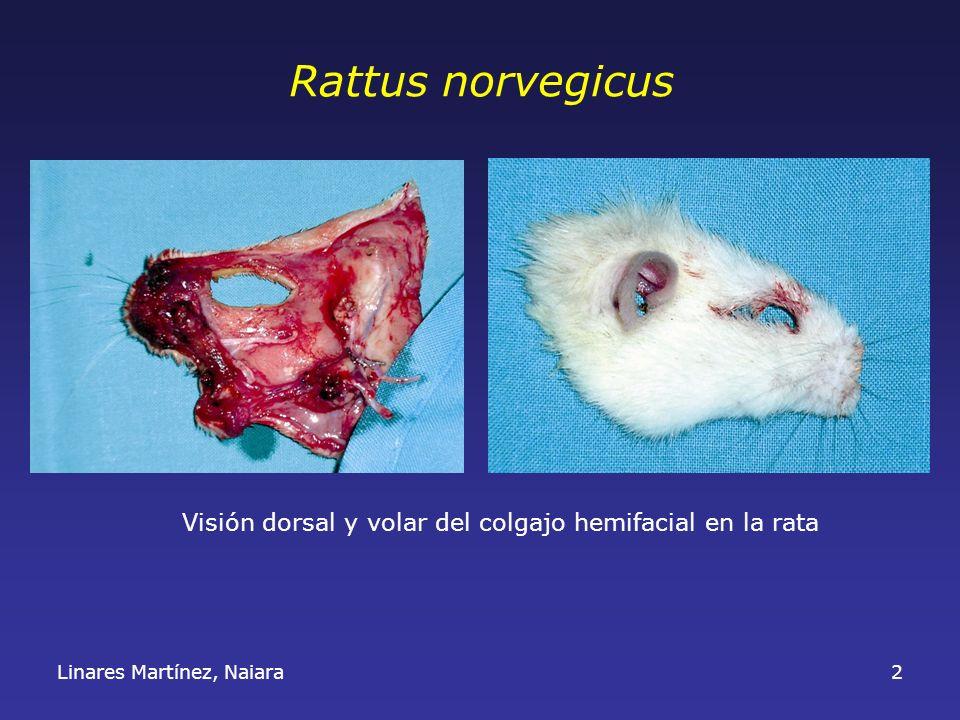 2 Rattus norvegicus Visión dorsal y volar del colgajo hemifacial en la rata