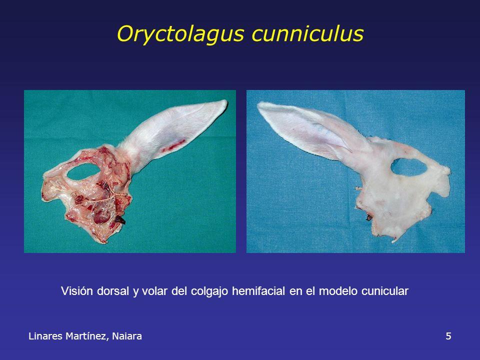 Linares Martínez, Naiara5 Oryctolagus cunniculus Visión dorsal y volar del colgajo hemifacial en el modelo cunicular